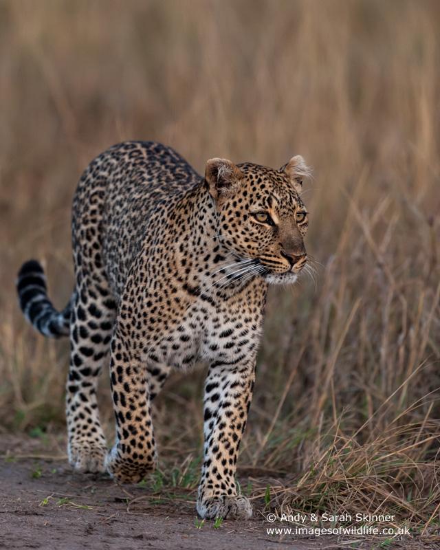 Leopard-5