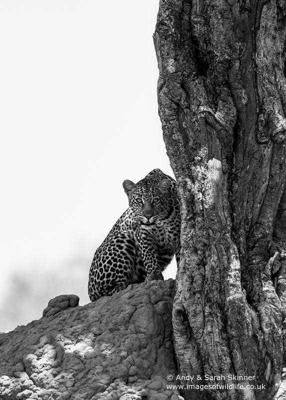 Leopard-7