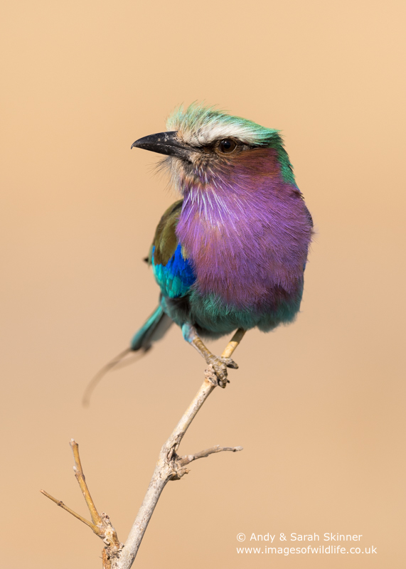 lilac-breasted-roller-01