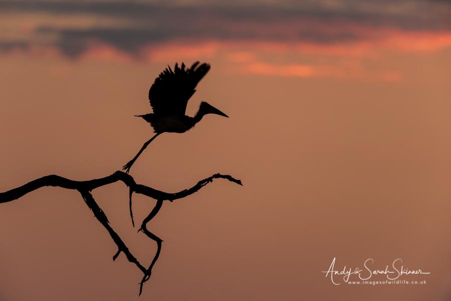 marabou-stork-01