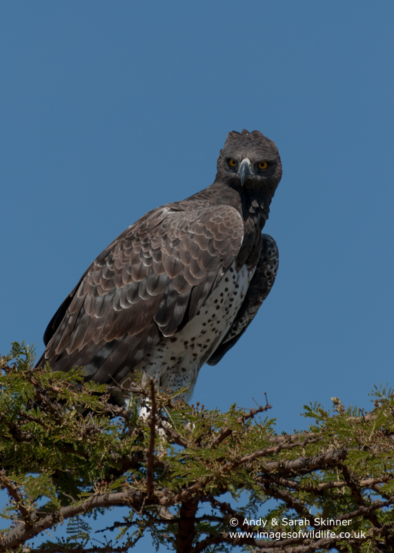martial-eagle-02