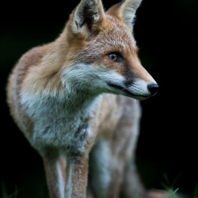 red-fox-03