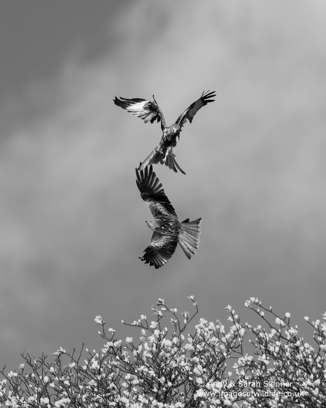 red-kite-07