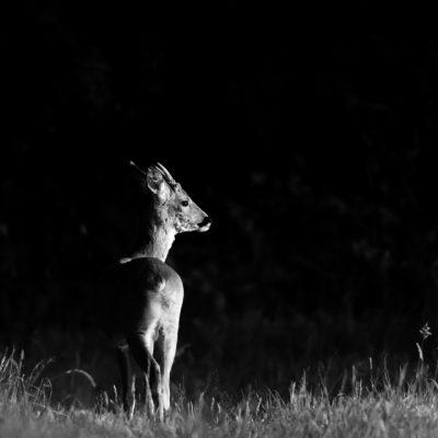 roe-deer-05