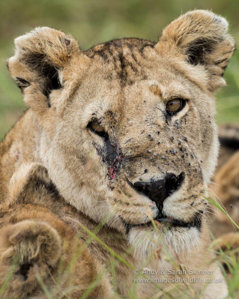 Big Cat safari Maasai Mara