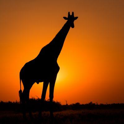 Southern Giraffe 002