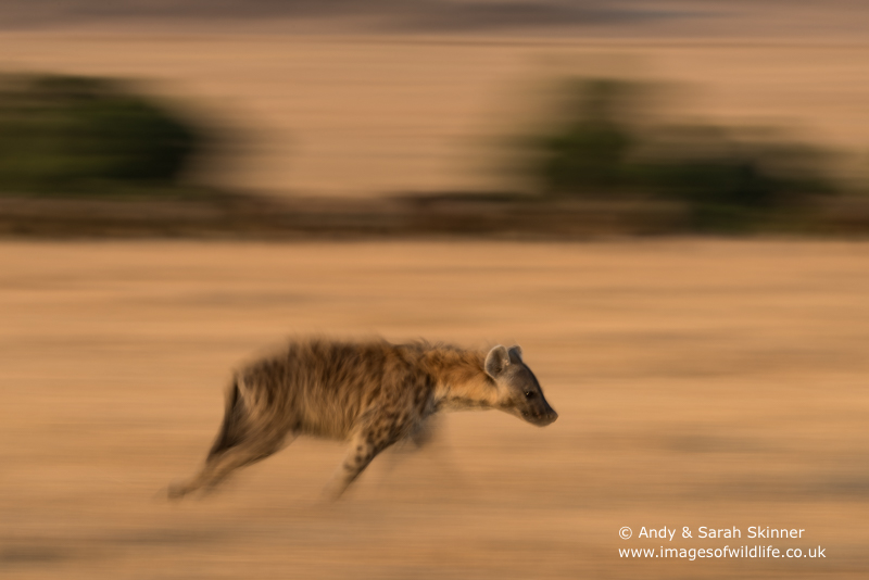 spotted-hyena-004