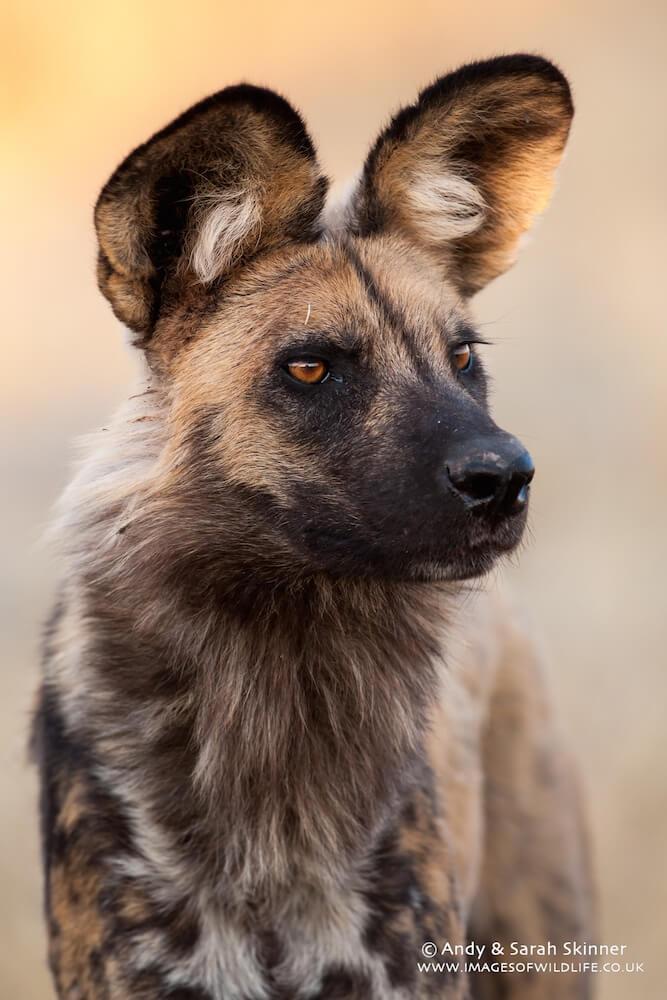 Wild Dog 07