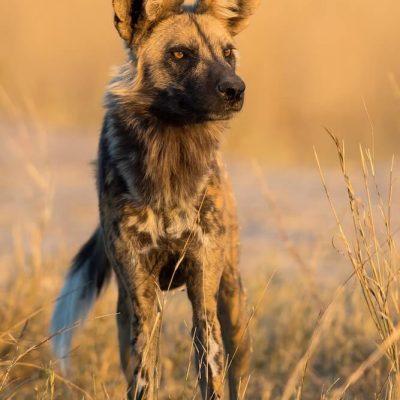 Wild Dog 11