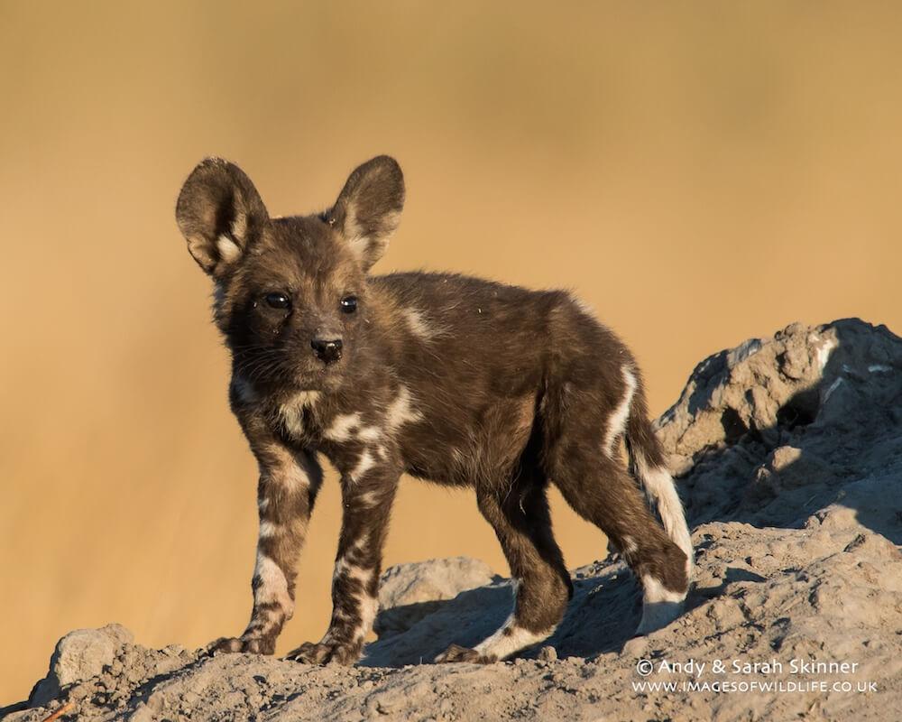 Wild Dog 12