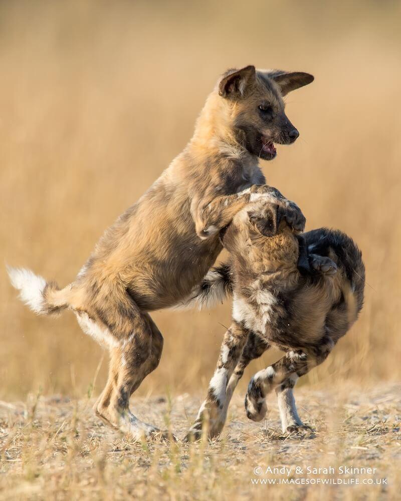 Wild Dog 13