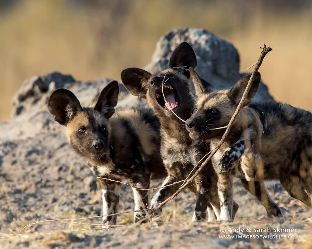 Wild Dog 14