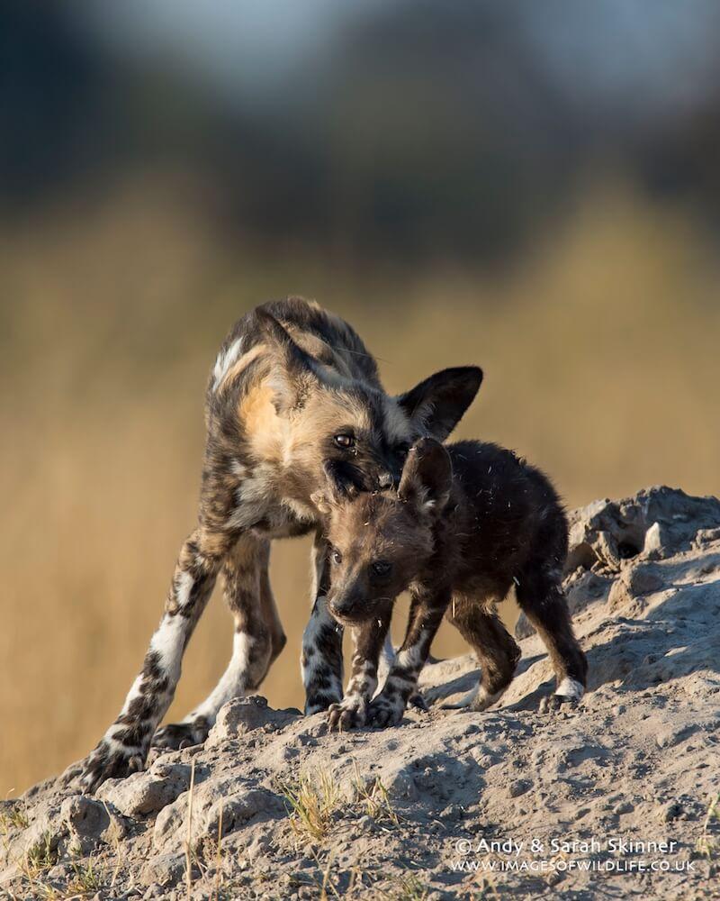 Wild Dog 15
