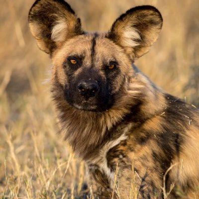 Wild Dog 16