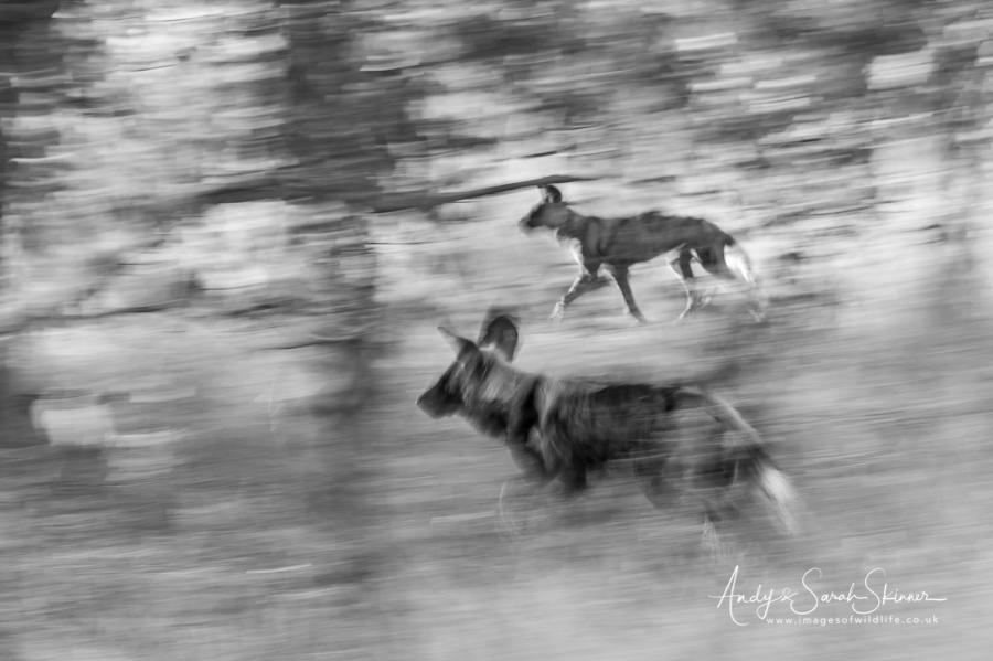 wild-dog-19