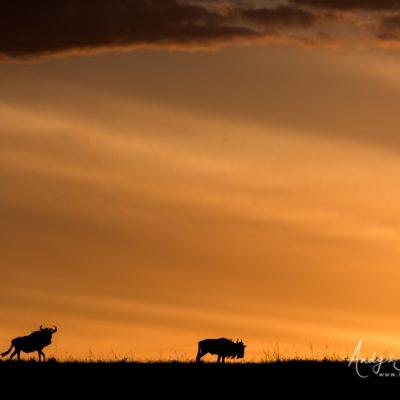 wildebeest-01