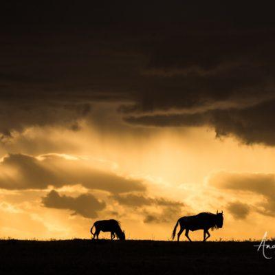 wildebeest-02