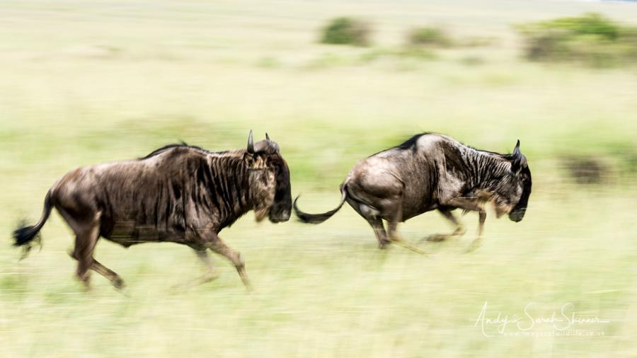 wildebeest-03