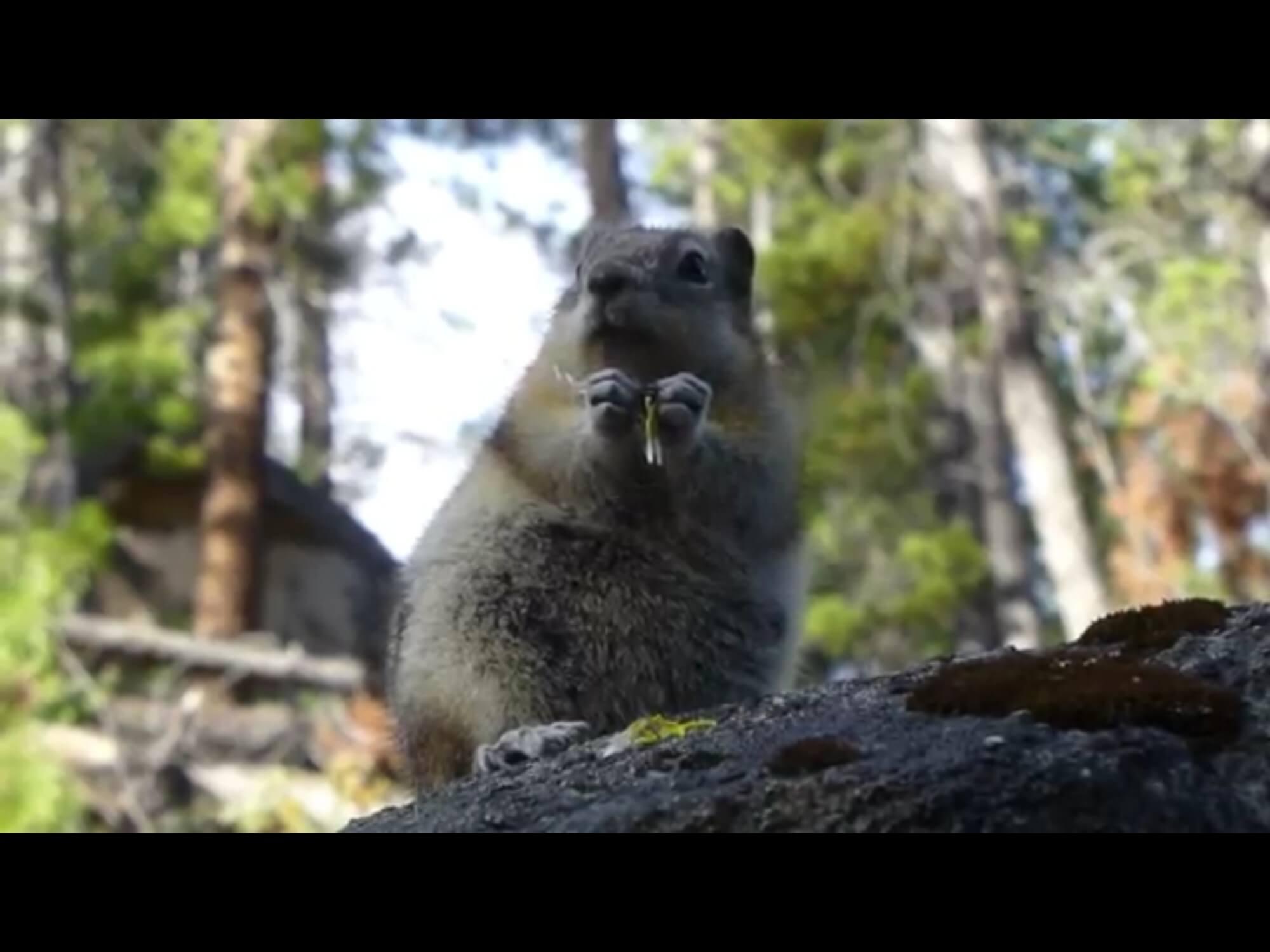 Golden mantled ground squirrel munches on a dandelion. Short video